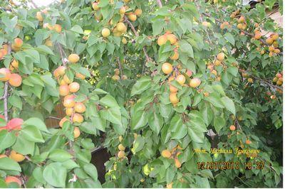 Любовь к золотому абрикосу
