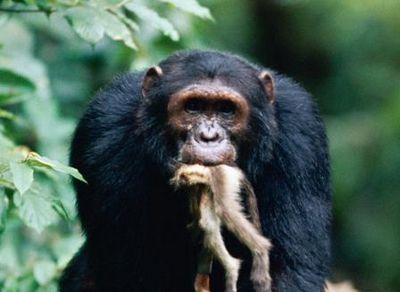 Обезьяна не убьет другую обезьяну?.. шимпанзе истребляют красных колобусов