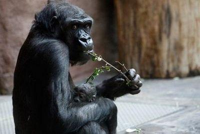 Обонятельный язык приматов