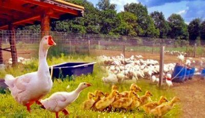 Первая в областном центре птичья ферма появилась в кызылорде