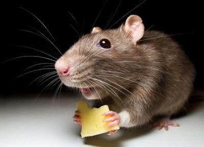 По улицам алматы разгуливают крысы