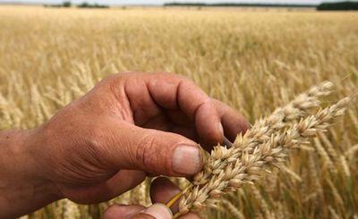 Россия — крупнейший поставщик пшеницы в мире - «экономика»
