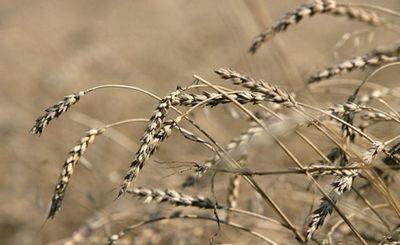 Россия становится зерновой сверхдержавой в связи с резким ростом экспорта пшеницы - «экономика»