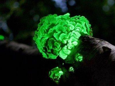 Российские ученые предложили механизм свечения грибов