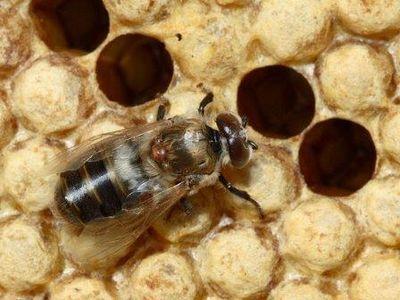 Русская пчела против клеща-разрушителя
