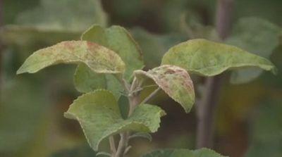 Ученые казахстана испытывают новые сорта яблонь