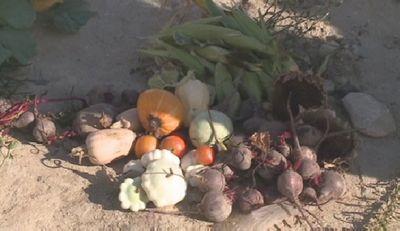 В актау дети ниш собирают урожай на собственном огороде