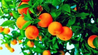 В грузии завершается сезон сбора мандаринов