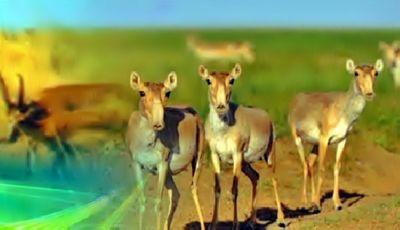 В уральске решают, как сохранить популяцию сайги