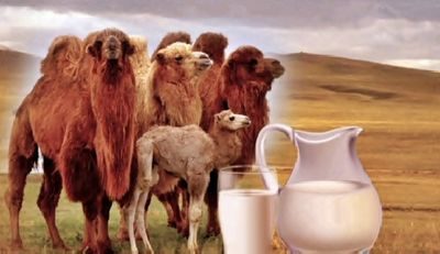 Все больше фермеров атырауской области хотят заниматься верблюдоводством
